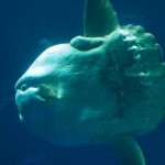 Ocean Sunfish2