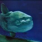 Ocean Sunfish3
