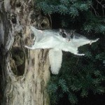 Southern Flying Squirrel2