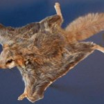Southern Flying Squirrel3