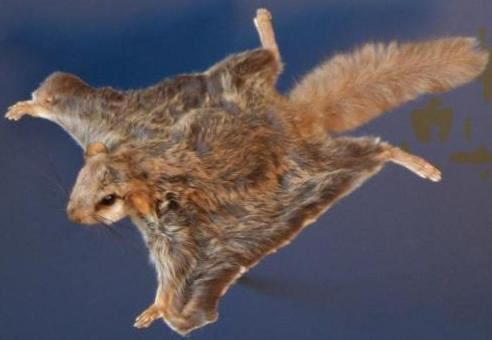 Southern Flying Squirrel: Facts, Characteristics, Habitat and More