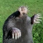 Star Nosed Mole1
