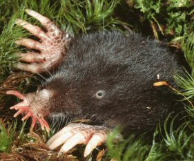 Star Nosed Mole: Facts, Characteristics, Habitat and More