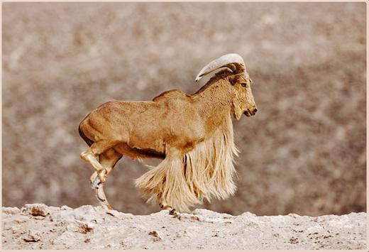 Barbary Sheep: Facts, Characteristics, Habitat and More