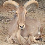 Barbary sheep2