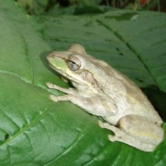 Cuban Tree Frog: Facts, Characteristics, Habitat and More