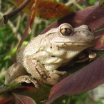 Cuban Tree Frog 4