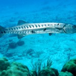 Great Barracuda2
