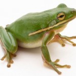 Green Frog3