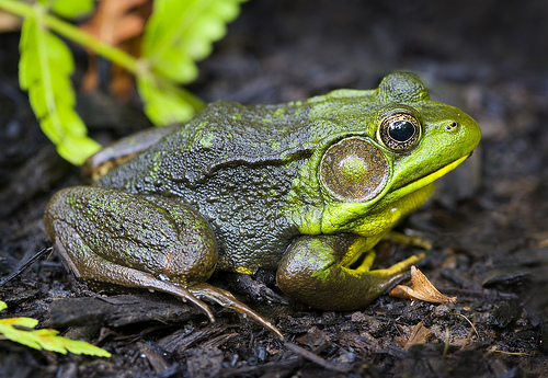 Green Frog: Facts, Characteristics, Habitat and More