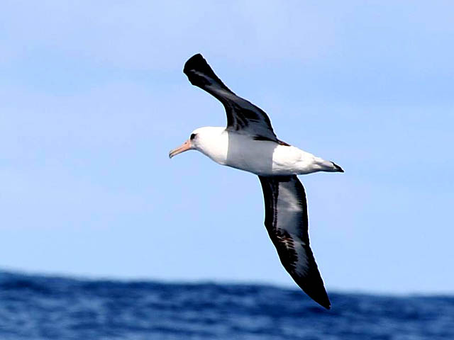 Laysan Albatross: Facts, Characteristics, Habitat and More