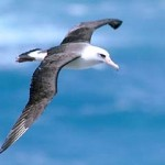 Laysan Albatross3