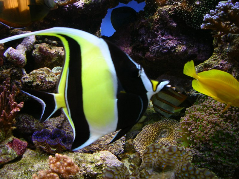 Moorish Idol: Facts, Characteristics, Habitat and More