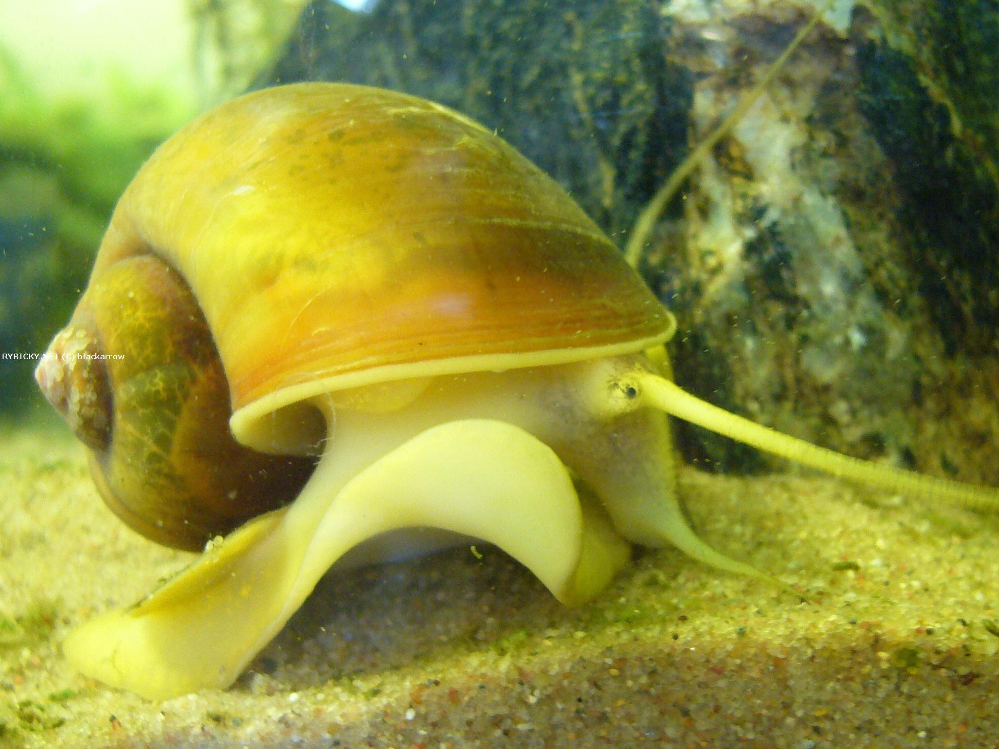 Pomacea Canalicuta: Facts, Characteristics, Habitat and More