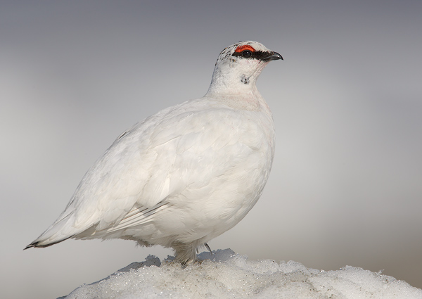 Rock Ptarmigan: Facts, Characteristics, Habitat and More