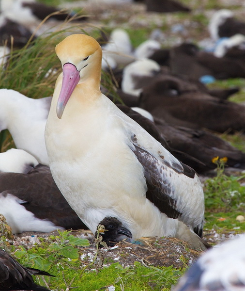 Short Tailed Albatross: Facts, Characteristics, Habitat and More