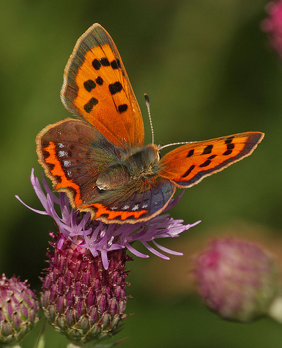 Small Copper Butterfly: Facts, Characteristics, Habitat and More
