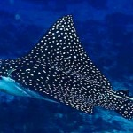 Spotted Eagle Ray3