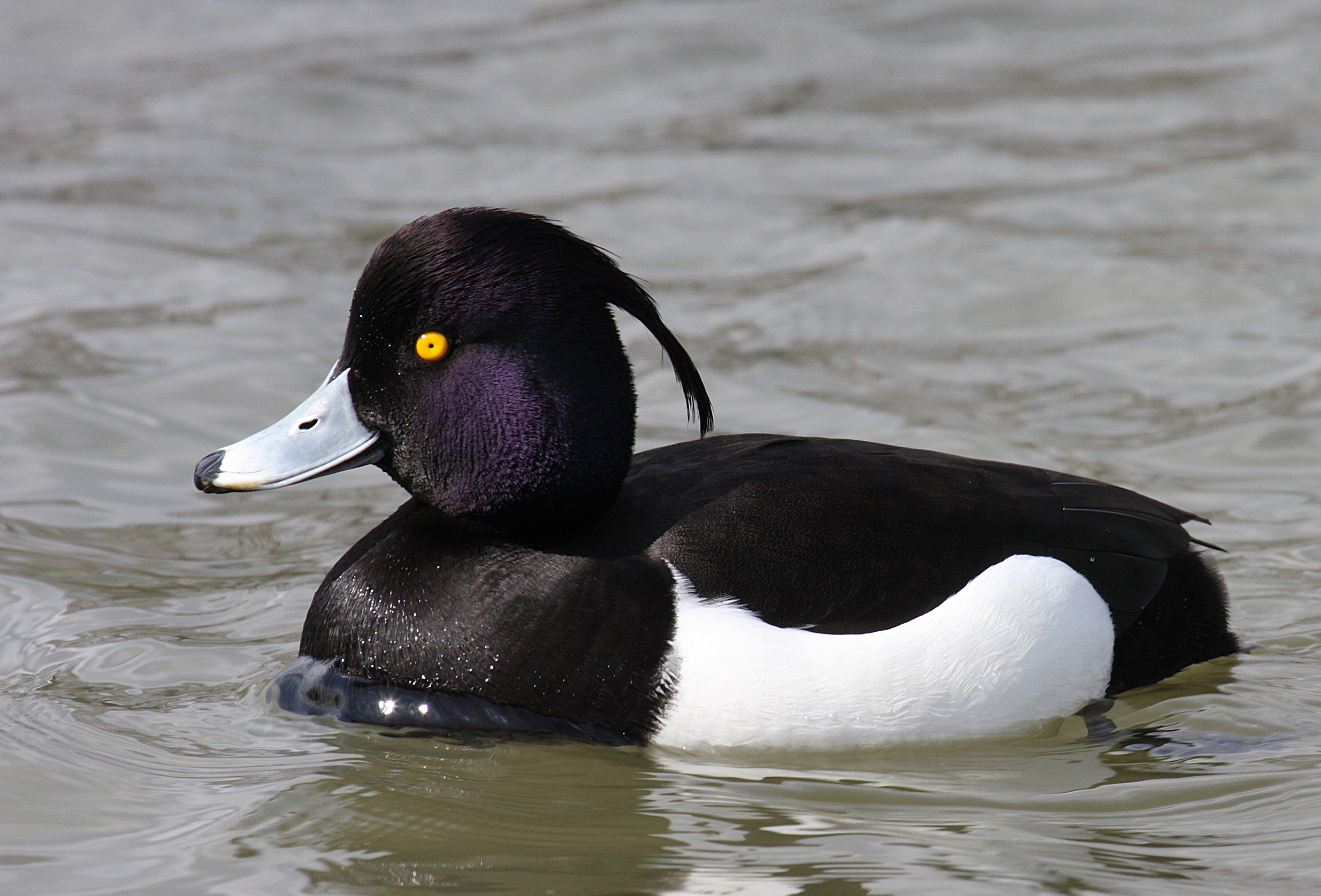 Tufted Duck (Aythya Fuligula): Facts, Characteristics, Habitat and More