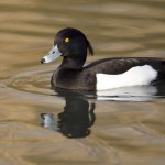 Tufted Duck1