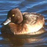Tufted Duck3