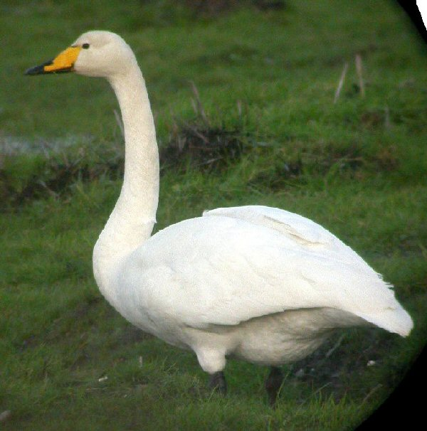 Whooper Swan: Facts, Characteristics, Habitat and More