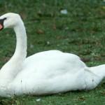 Whooper Swan1