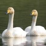 Whooper Swan2