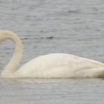 Whooper Swan3