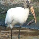Wood Stork1