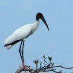 Wood Stork2