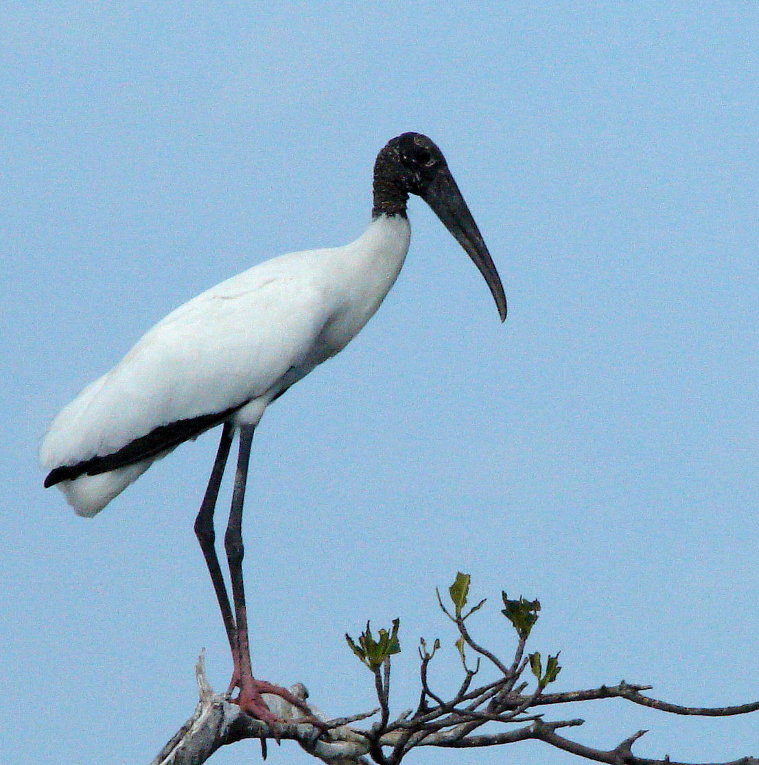 Wood Stork: Facts, Characteristics, Habitat and More