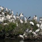 Wood Stork3