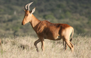 Hartebeest: Facts, Characteristics, Habitat and More