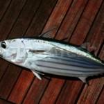 skipjack-tuna-large1