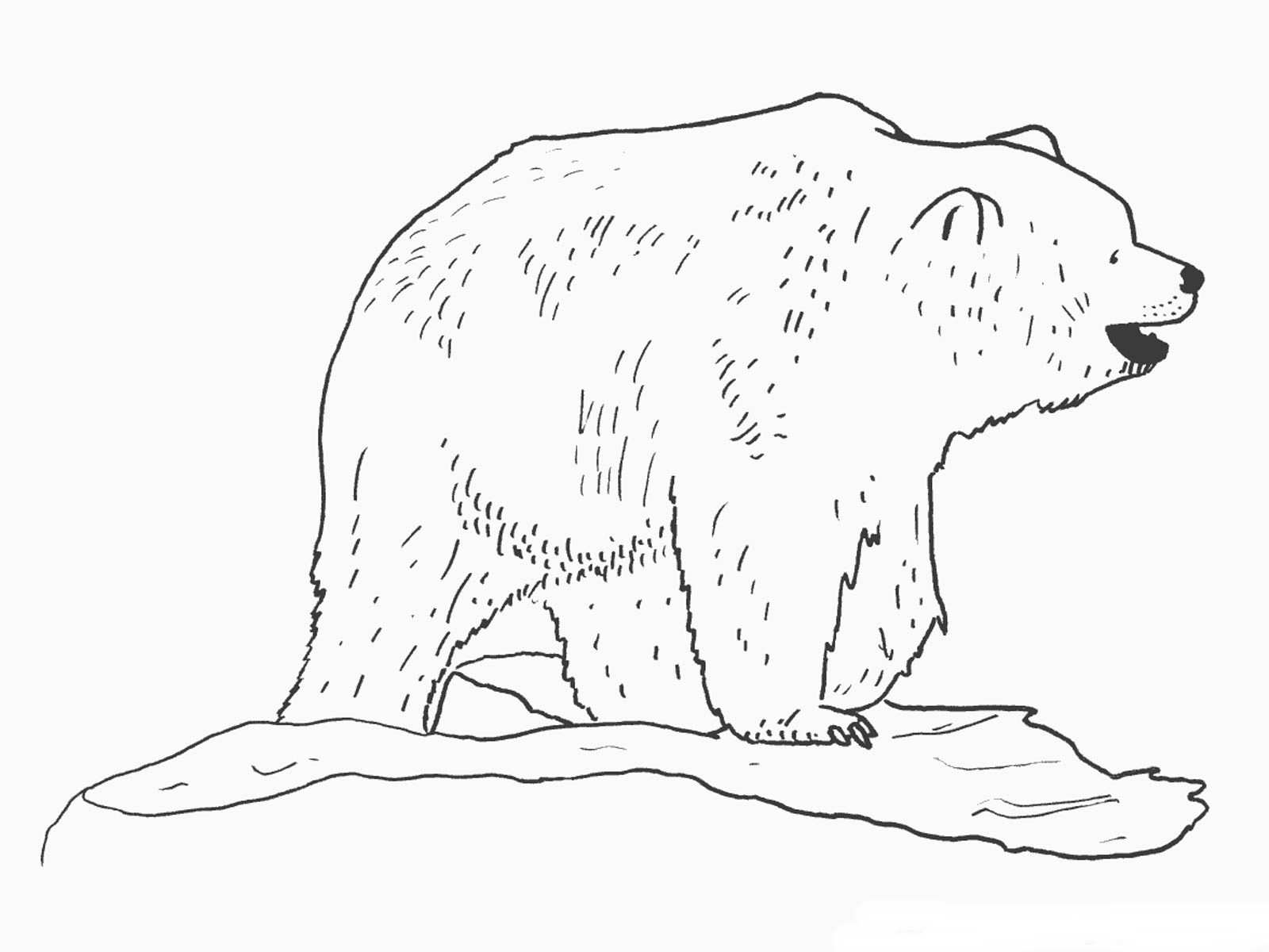 coloring page of bear - free printable bear coloring pages for kids animal place