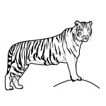 Tiger Coloring Page Photos