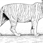 Tiger Coloring Pages for Kids Images