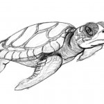 Turtle Coloring Pages Photo