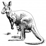 Coloring Page Kangaroo Photo