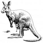Coloring Page Kangaroo Photo