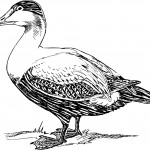 Coloring Pages of Duck
