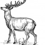 Deer Coloring Page Picture