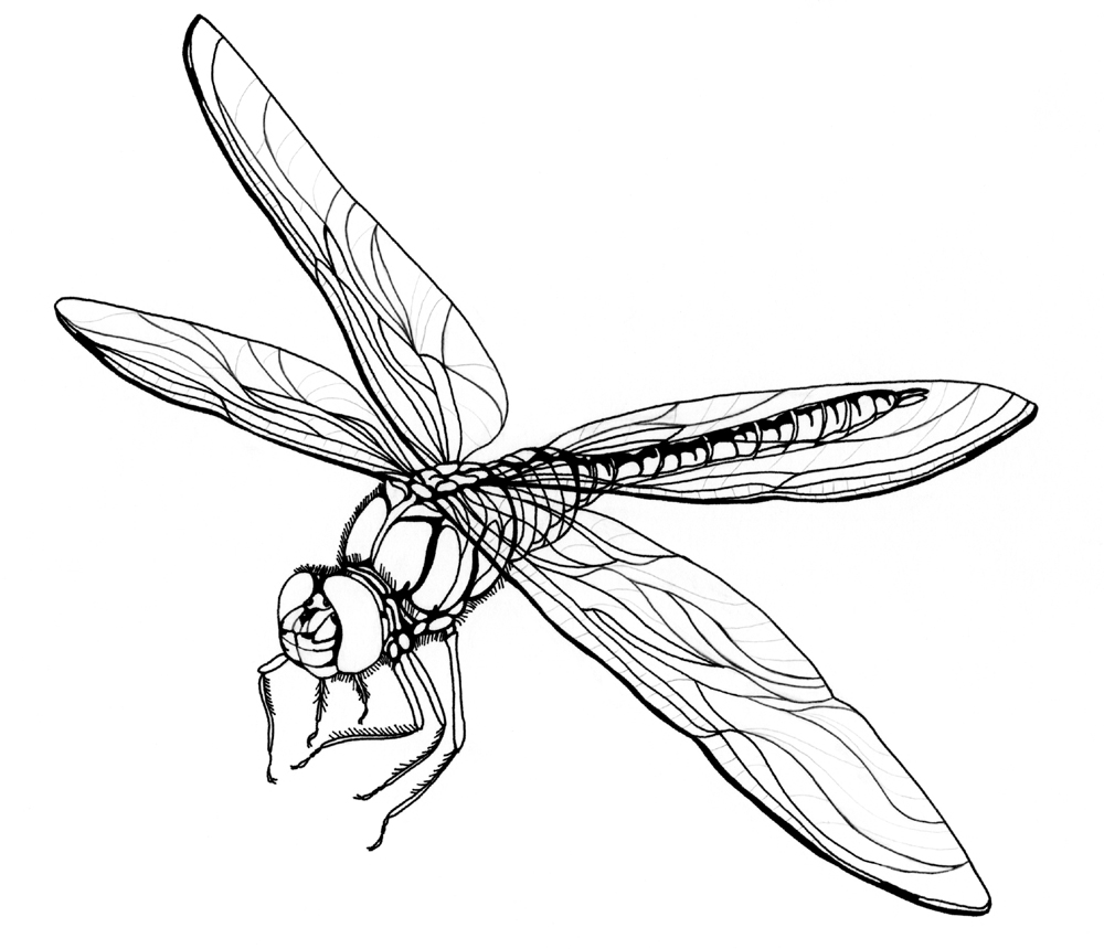 Free Printable Dragonfly Coloring Pages For Kids Animal Place