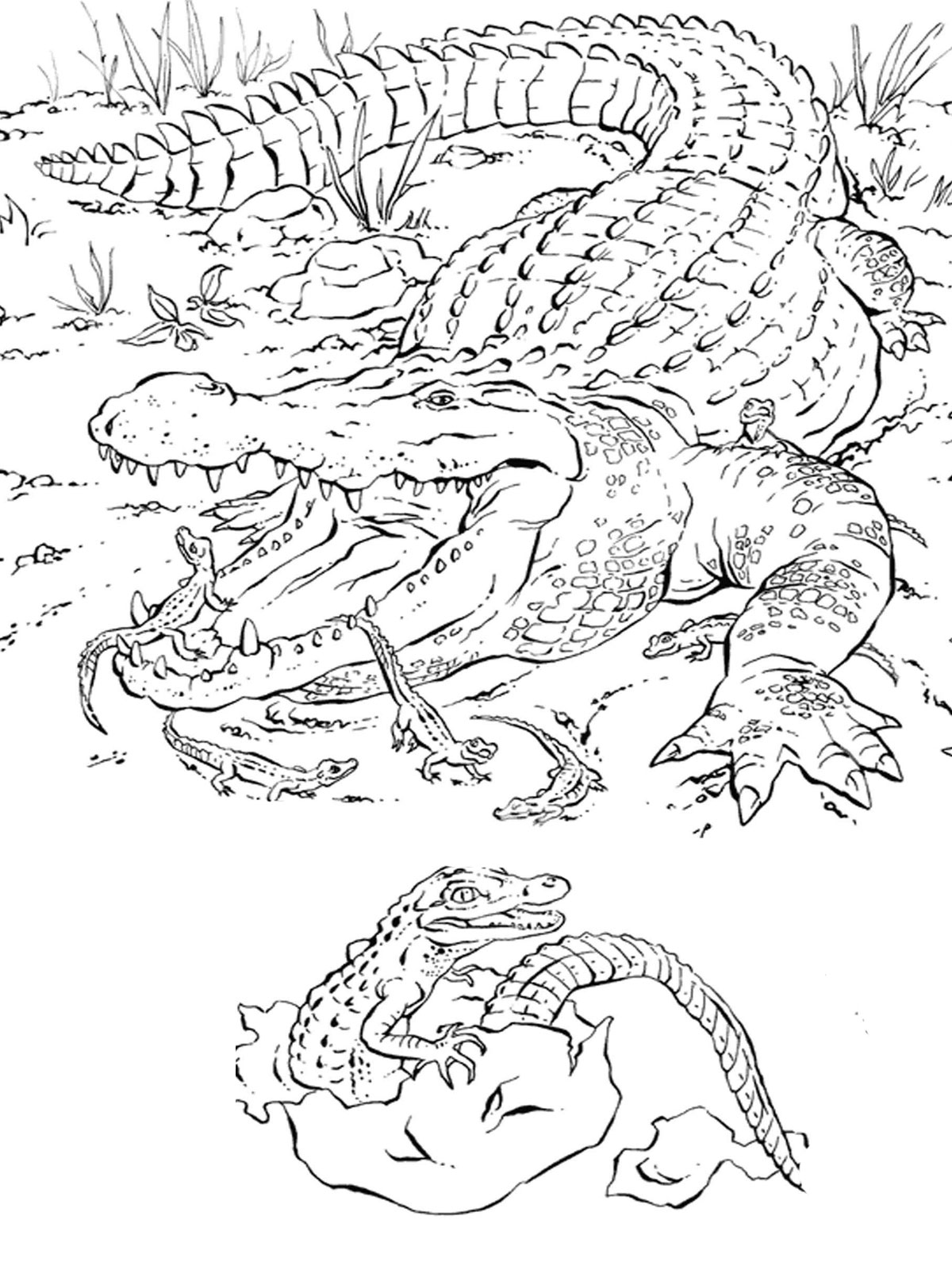 free printable alligator coloring pages for kids animal place