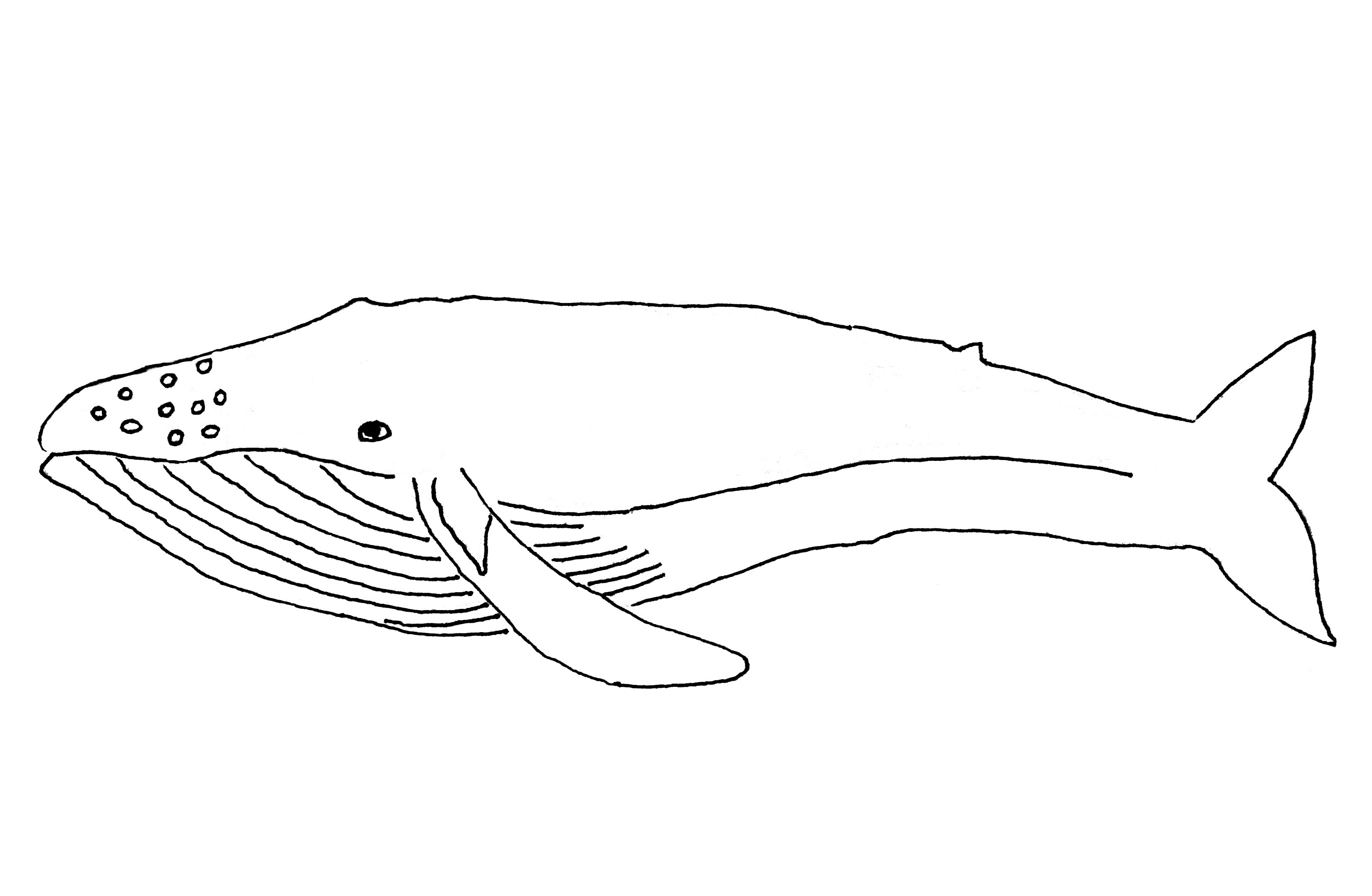 Coloring Pages For Whales : Free printable whale coloring pages for kids animal place