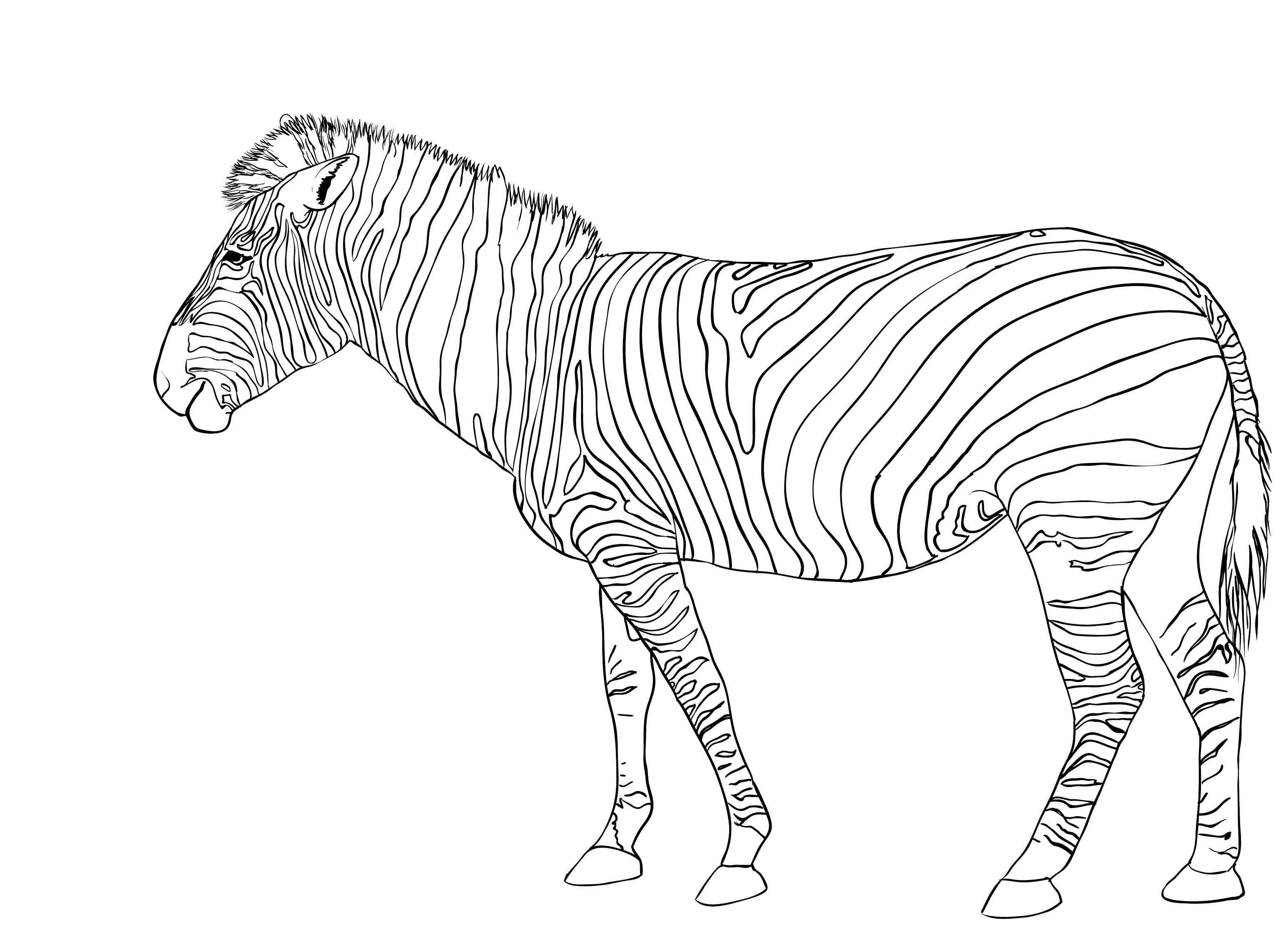 Printable coloring pictures of zebras - Zebra